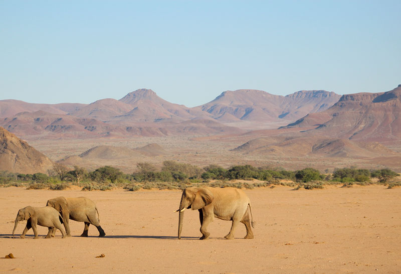 Damaraland elephants