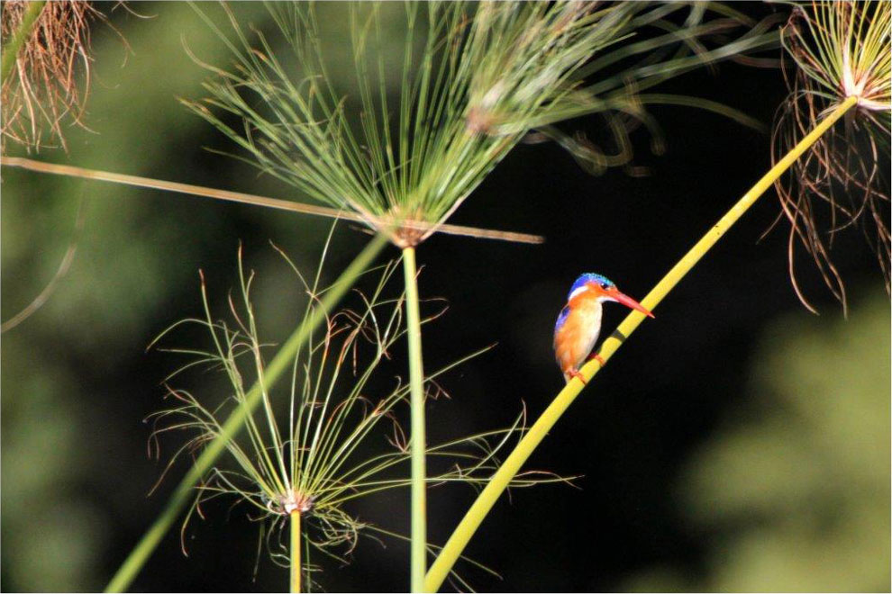 Kingfisher, Zambezi river